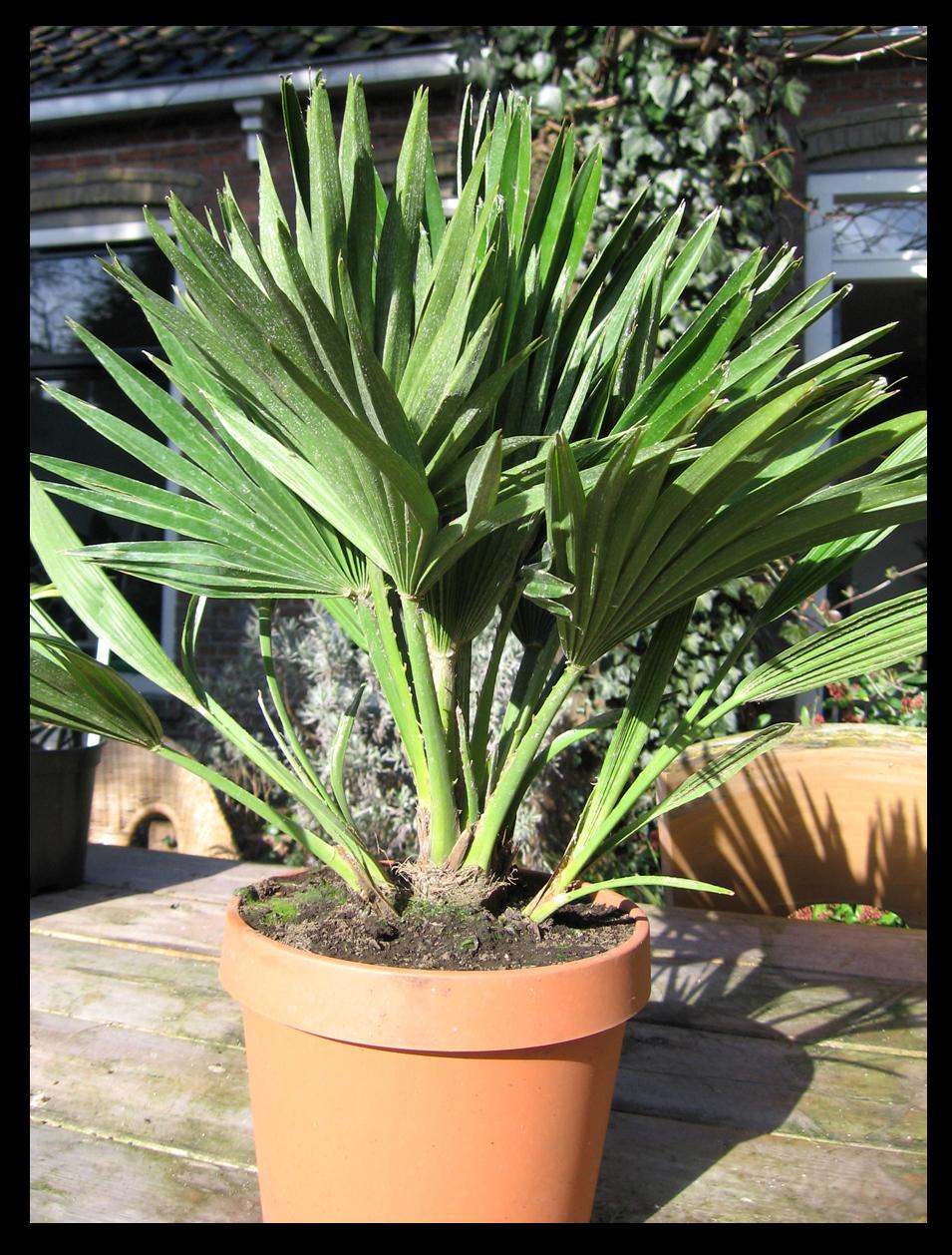 exotic garden palmen sabal butia chamaerops. Black Bedroom Furniture Sets. Home Design Ideas